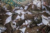 Bycatch of Yellow Tail Flounder and Atlantic Cod on deck