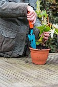 Overwintering of tuberous begonia in a garden ; Remove plants from pot, to store in wintertime
