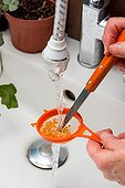 Harvest of tomato seeds ; Washing tomato seeds in a strainer with water removing the pulp.