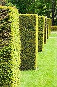 Topiaries of cypress 'Rheingold' in a garden