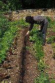 Sowing of fennel in a kitchen garden