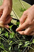 Thinning of parsley in a kitchen garden