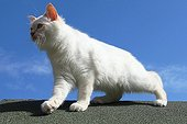 Sacred Cat of Burma on a roof - France