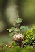 Sporulation of Common Puffball - Schwarzwald Germany