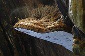 Sporulation of Artist's Bracket on dead wood - Alsace France