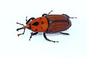 Red palm weevil in studio