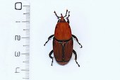 Red palm weevil and ruler in studio