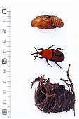 Red palm weevil from nymph to cocoon