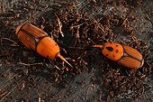 Red palm weevil couple on a stump