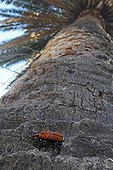 Red palm weevil on a Canary Island palmtree