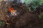 Eradication of red palm weevil by fire on dead palmtree