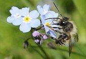 Osmie rousse sur fleurs de Myosotis - Vosges du Nord France
