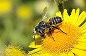 Spined Mason Bee on Meadow False Fleabane - Northern Vosges