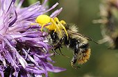 Goldenrod Spider catching a Bumblebee - Ecrins Alpes France