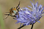 Anthophora Bee female on Sheep's-bit - Northern Vosges