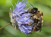 Forked Anthophora Bee on Sheep's-bit - Northern Vosges