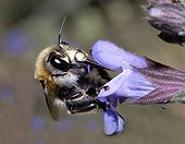 Hairy footed flower bee on Sage flower - Northern Vosges