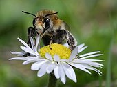 Hairy footed flower bee on Lawndaisy - Northern Vosges