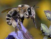 Anthophora Bee female on Sage flower - Northern Vosges
