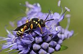 Black-backed Nomad Bee on Sheep's-bit - Northern Vosges