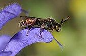 Nomad Bee on Sage flower - Northern Vosges France