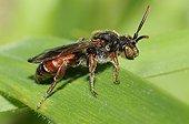 Nomad Bee on a leaf - Northern Vosges France