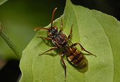 Panzer's Nomad Bee on a leaf - Northern Vosges France