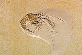 Fossile au Musée d'histoire naturelle de Berlin - Allemagne ; Museum für Naturkunde. Naturkundemuseum ou Humboldt-Museum. Mecochirus longimanatus
