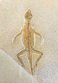 Fossile au Musée d'histoire naturelle de Berlin - Allemagne ; Museum für Naturkunde. Naturkundemuseum ou Humboldt-Museum. Homoeosaurus maximilliani