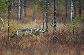 Grey wolf walking in wetlands in Eastern Finland