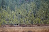 Grey wolf and common ravens in wetlands in Eastern Finland