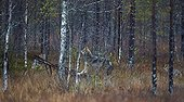 Grey wolf and magpie in wetlands - Eastern Finland