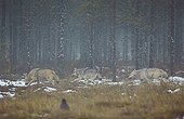 Grey wolves going out of the woods - Oulu - Finland