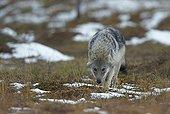 Grey wolf cub walking - Oulu - Finland