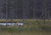 Grey wolf cub beside a pound - Oulu - Finland