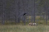 Grey wolf cub and common raven - Oulu - Finland