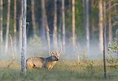 Grey wolf in a clearing - Oulu - Finland