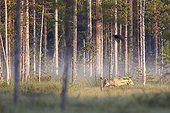Grey wolf and common raven in a clearing - Oulu - Finland