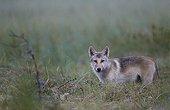 Grey wolf cub in grassland - Oulu - Finland