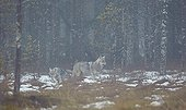 Grey wolves in the mist - Oulu - Finland