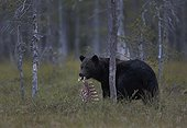 Brown bear carrying a bone prey - Oulu - Finland