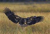 White-tailed sea eagle landing on grassland -Finnmark Norway