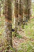 Rubber trees plantation - Kalimantan Indonesia ; WWF-Indonesia