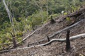 Deforestation to plant rubber tree - Kalimantan Indonesia ; WWF-Indonesia