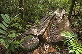 Illegal logging in Tanaq Ulen forest - Kalimantan Indonesia ; WWF-Indonesia