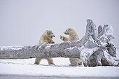 Polar bears playing on failed tree - Barter Island Alaska
