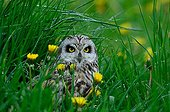 Short-eared Owl in a dandelion field