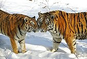 Siberian tigers in the snow