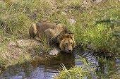Lion drinking at Masai Mara NR - Kenya