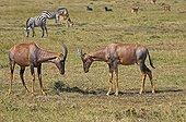 Topis fighting in the savannah - Masai Mara NR - Kenya